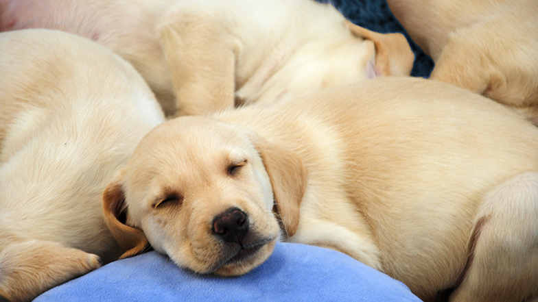 Puppies sleeping at the Guide Dogs National Breeding Centre