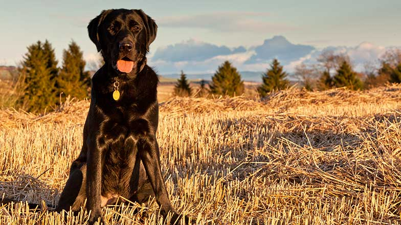 Chocolate labrador dog sits in a  sunny field looking happy