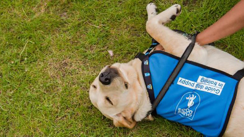A guide dog rolling on its back on the grass