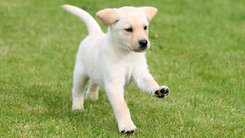 Guide dog puppy running across the grass