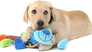 A guide dog holding a cuddly toy in its mouth