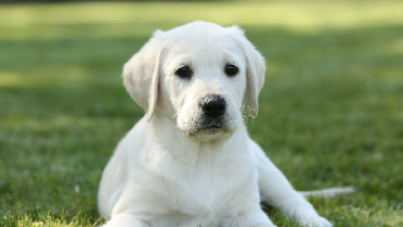 Labrador puppy sitting on the grass
