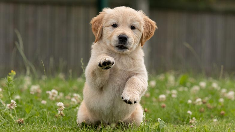 Golden retriever puppy sitting with one of his paws outstretched