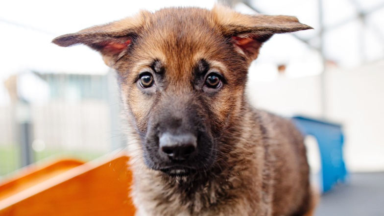 German shepherd puppy looking at camera
