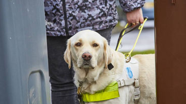 Guide dog on harness staring at camera