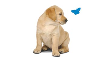 Golden labrador puppy looking at a blue butterfly