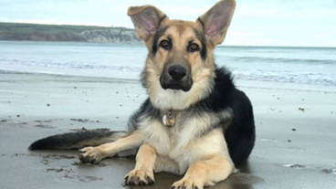 Rex the german shepherd sitting on a beach with the sea in the background
