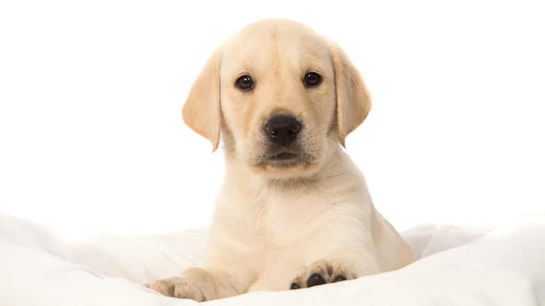 A Guide Dog puppy on a blanket
