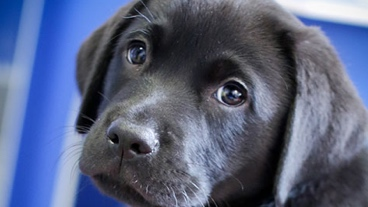 Close up of a black puppy
