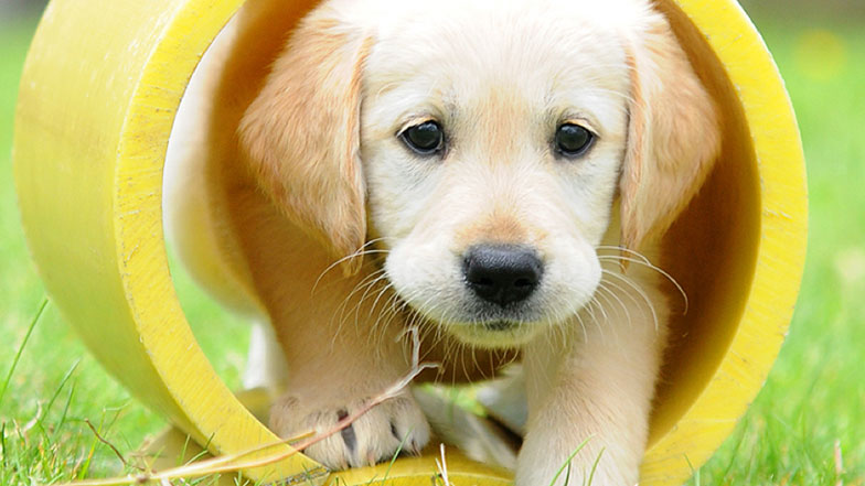 Goldie the puppy walks through a yellow tube