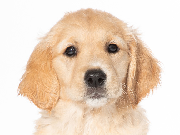 Headshot of golden retriever Ginger