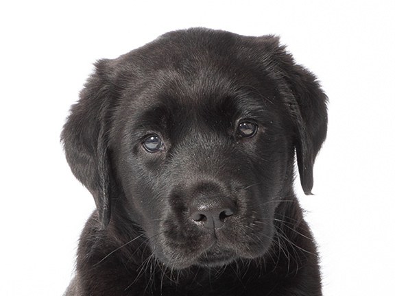 Headshot of black Labrador Marley