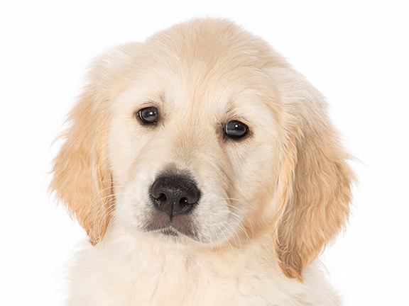 Headshot of golden retriever cross Sprout