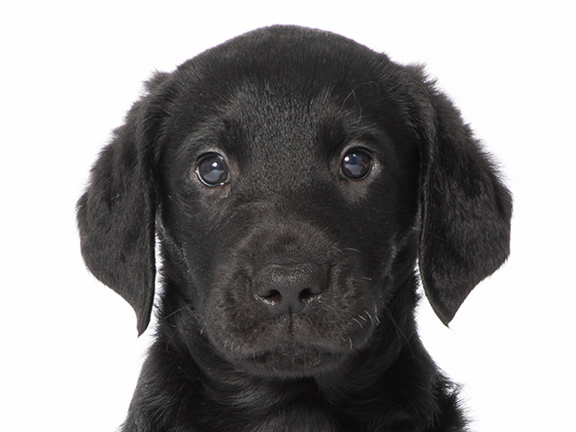 Headshot of black curly coated retriever/Labrador cross Lola