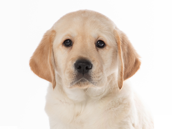 A headshot of yellow lab Cooper