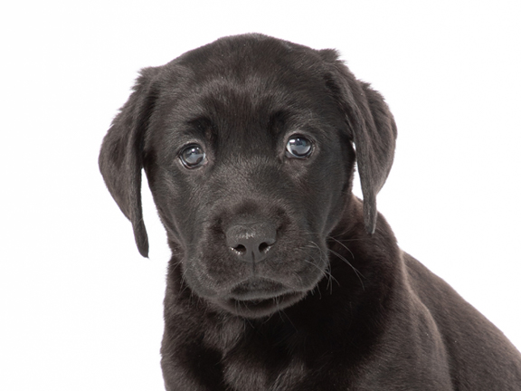 A headshot of black lab Coco