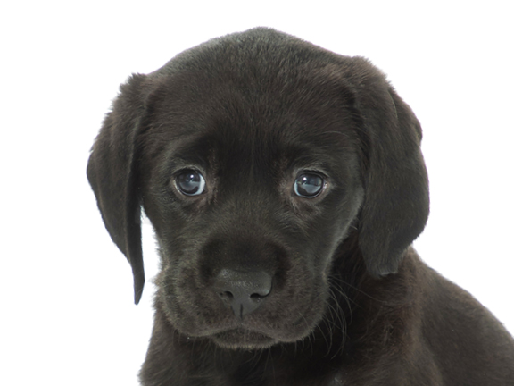 A headshot of black lab Rosie