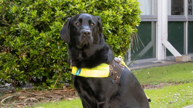 Alfie in his Guide Dogs harness