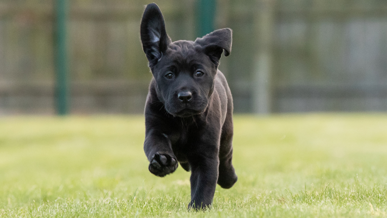 Coco running on the grass with her ears flapping