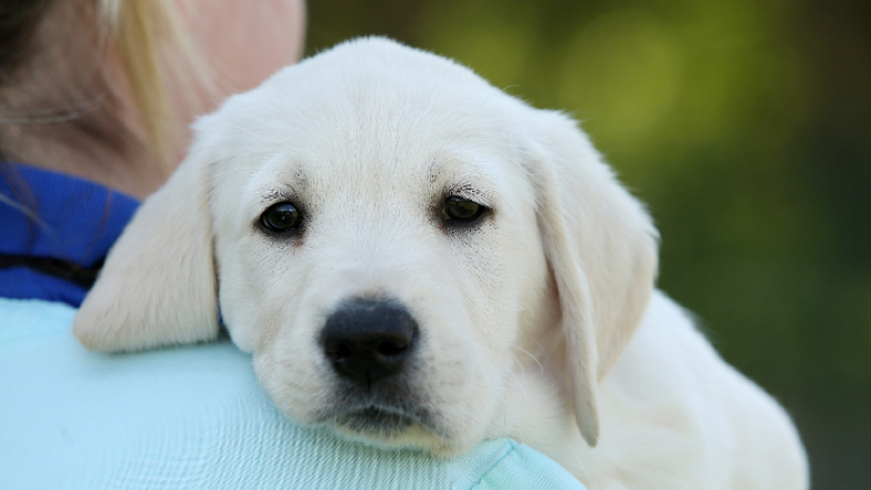 Sponsor A Guide Dog Puppy | Guide Dogs