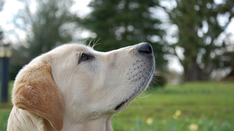 Labrador-in-park-looking-up-Guide-Dogs